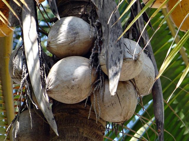 zralé kokosy